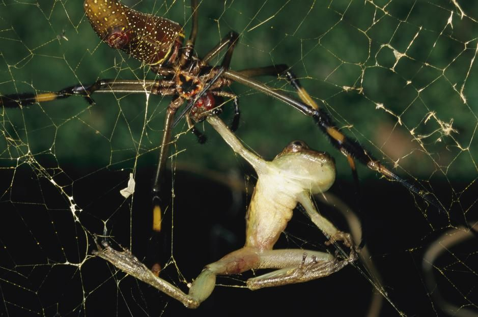 A spider bites a frog, paralising it, La Selva. Costa Rica. [Photo of the day - October, 2011]