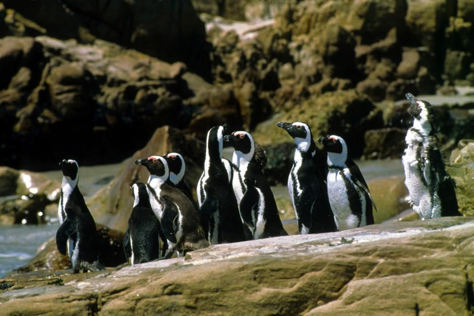 Jackass penguins on the Cape coast, South Africa. This image is from Fit for the Wild. [Photo of the day - November 2012]