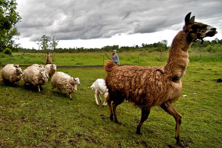 A rescued llama leads a line of rescued sheep at Piper's Place, the new rescue center at the... [Foto del día - diciembre 2012]