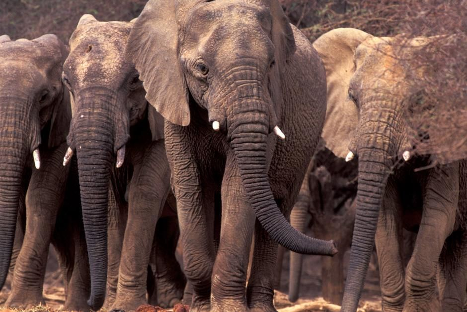 Sahara Desert: The rare Mali elephant undertakes the longest elephant migration on Earth, a 300-m... [Photo of the day - December 2012]