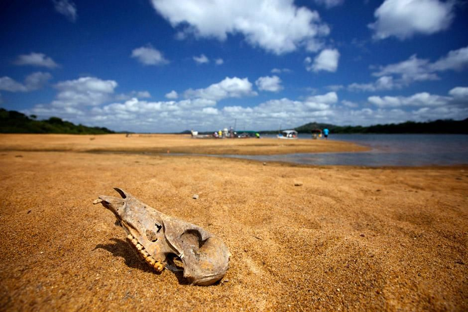 Brazil: An animal skull on the banks of the Xingu River, found near where the team has set up... [Foto del día - diciembre 2012]