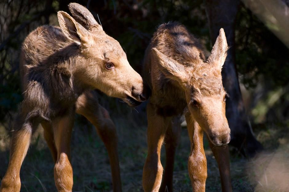 Newborn moose calf twins in Anchorage, Alaska USA. This image is from Mysteries Of The Moose. [صورة اليوم  - دسامبر 2012]