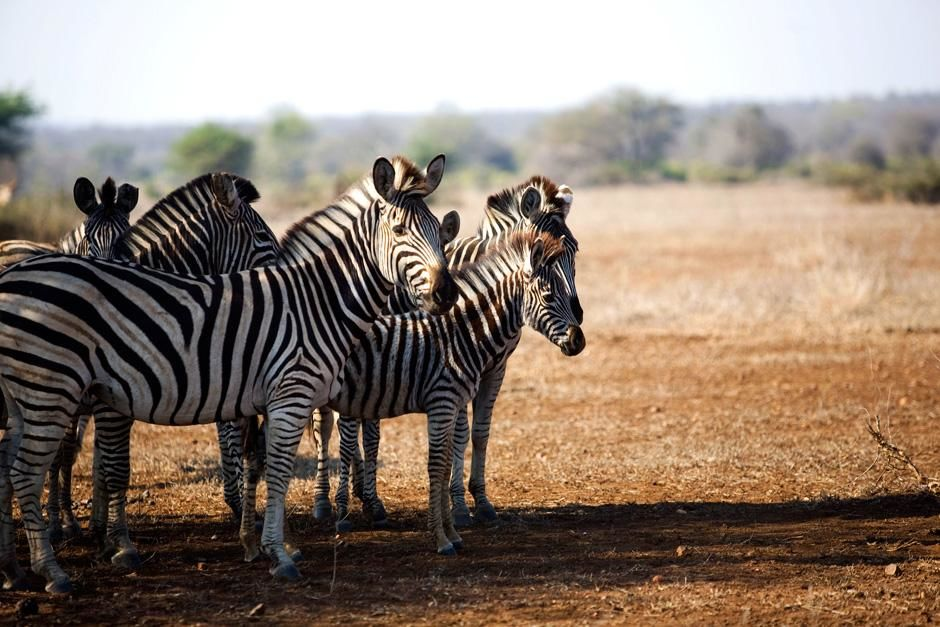 A zebra at Singita Kruger National Park in South Africa. This image is from Safari Live. [Photo of the day - دسامبر 2012]