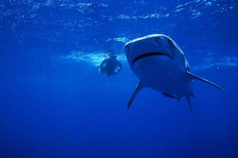 """Südafrika: """"Tauchen mit Tigerhaien"""". Das Bild stammt aus der gleichnamigen Sendung. [Foto des Tages - Dezember 2012]"""