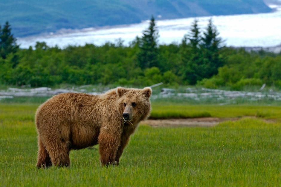 """Alaska: Grizzly bei Hallo Bay. Das Bild stammt aus """"Planet der Raubtiere"""". [Foto des Tages - Dezember 2012]"""