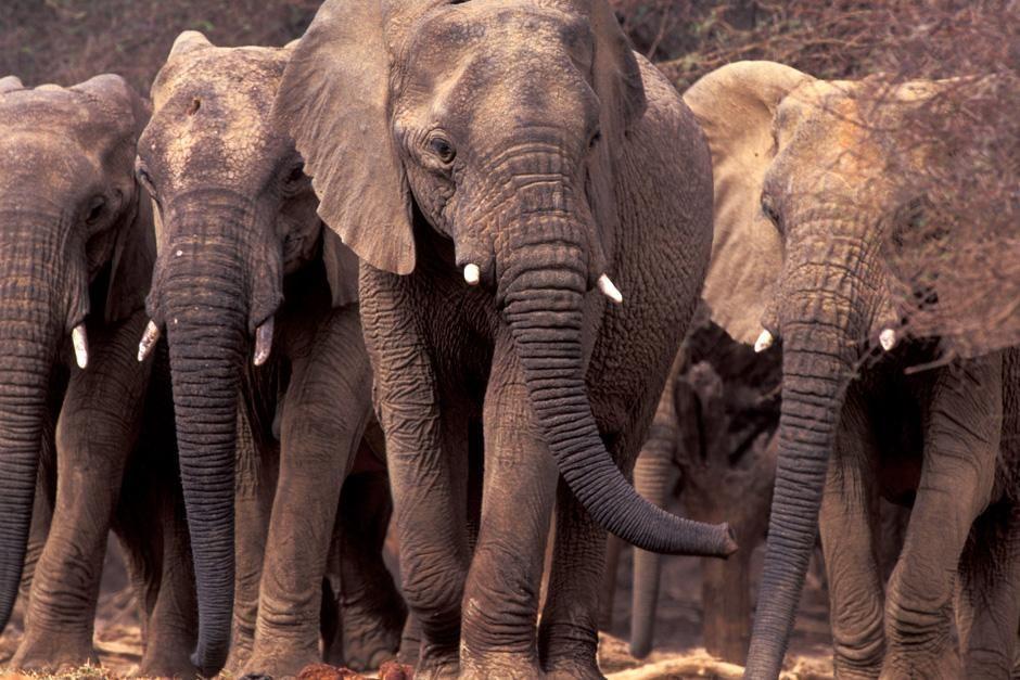 """Sahara: Wüstenelefanten in Mali. Das Bild stammt aus """"Great Migrations"""". [Foto des Tages - Dezember 2012]"""