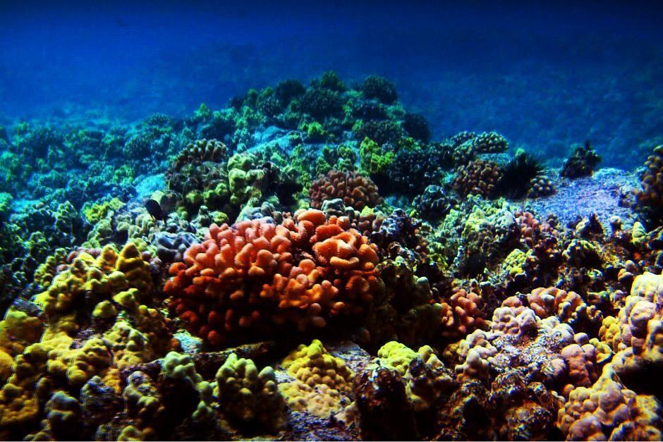 """Korallenwunder vor Hawaii. Das Bild stammt aus """"Bob Ballards Reich der Tiefsee"""". [Foto des Tages - Dezember 2012]"""