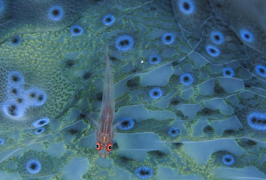 A one inch translucent goby rests on a giant clam in the Pacific Ocean. Indonesia. [Photo of the day - October, 2011]