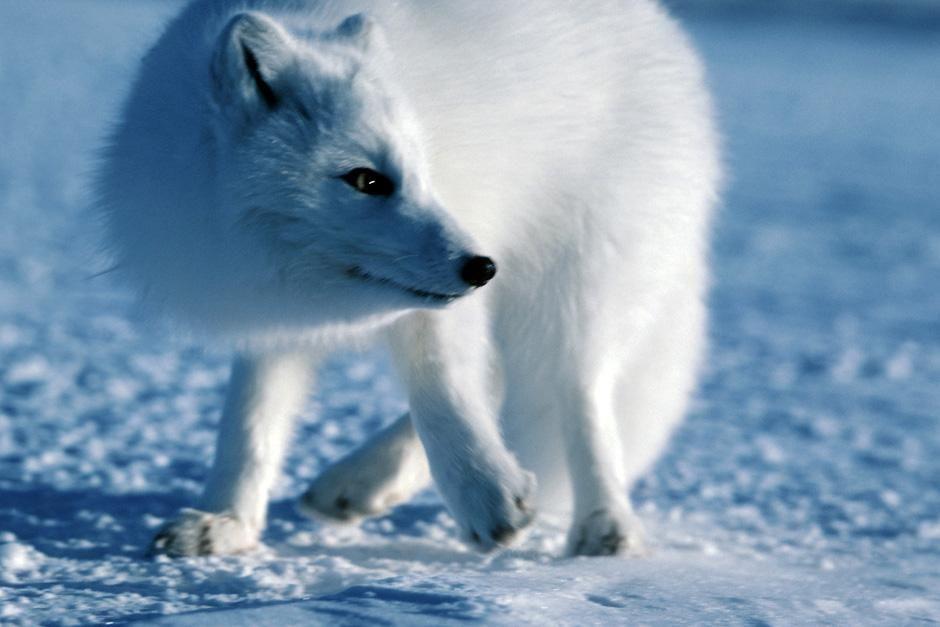 """Polarfuchs im Schnee. Das Bild stammt aus """"Planet der Raubtiere"""". [Foto des Tages - Dezember 2012]"""