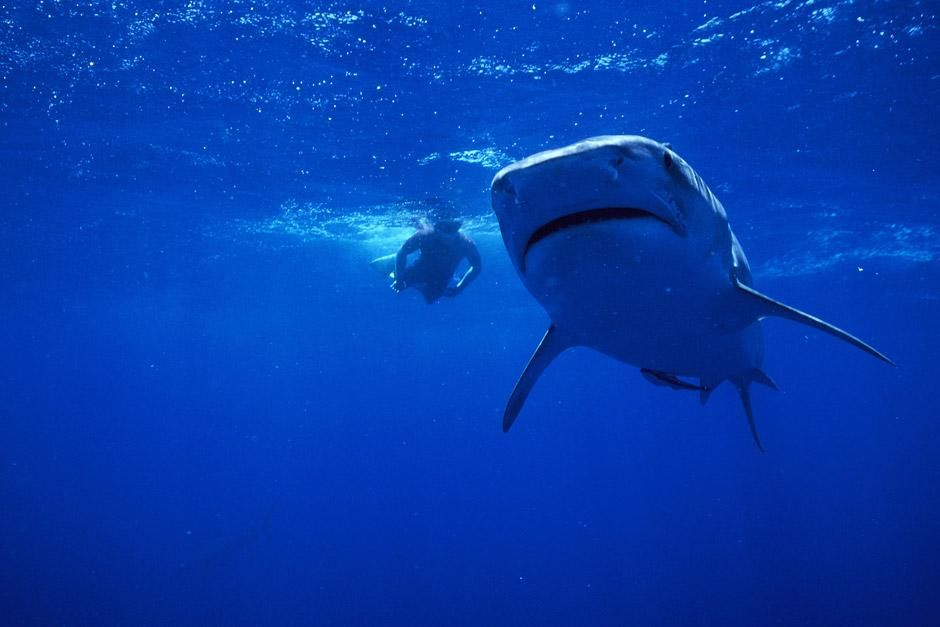 A free diver swims with a tiger shark. This image is from Dive to Tiger Central. [Photo of the day - December 2012]