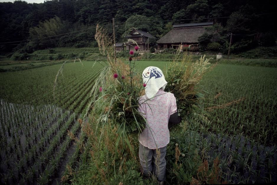 Een Japanse boerin draagt sierplanten door de rijstvelden in Honshu.  [Photo of the day - juli 2011]
