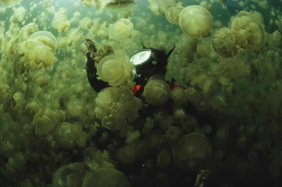 A diver in a lake filled with jellyfish, Caroline Islands. Republic of Palau. [Photo of the day - October, 2011]