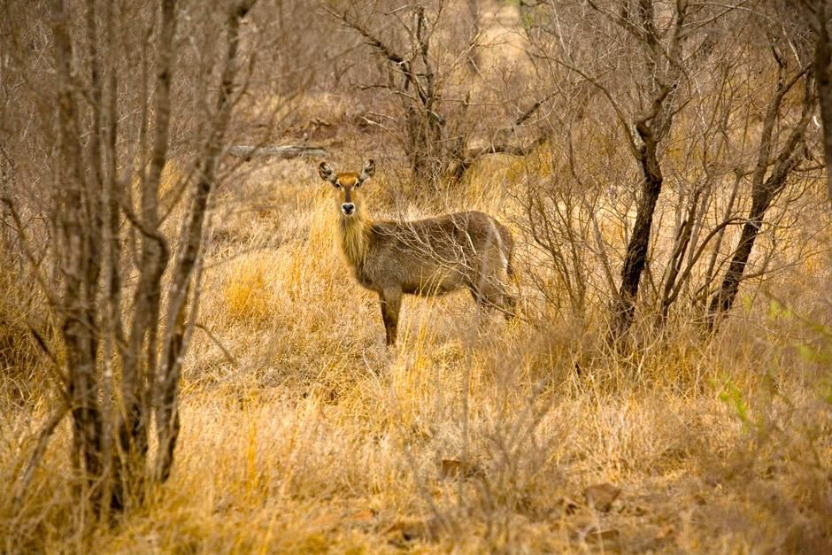 A water buck at Singita Kruger National Park in South Africa.This image is from Safari Live. [Photo of the day - December 2012]
