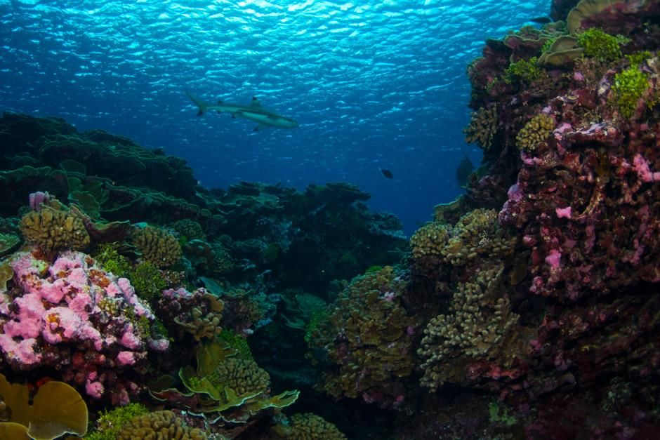 Millennium Atoll: A cruising blacktip shark in a coral reef habitat. Blacktip sharks are easily... [Photo of the day - December 2012]