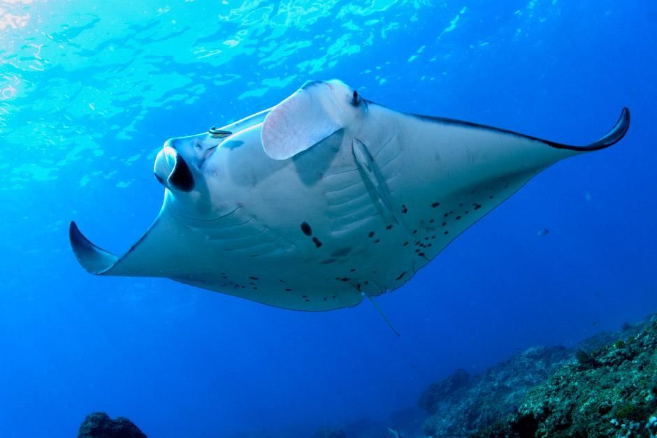 Lady Elliot Island, QLD, Australia: Looking up at a manta ray underbelly as it swims overtop of... [Photo of the day - December 2012]