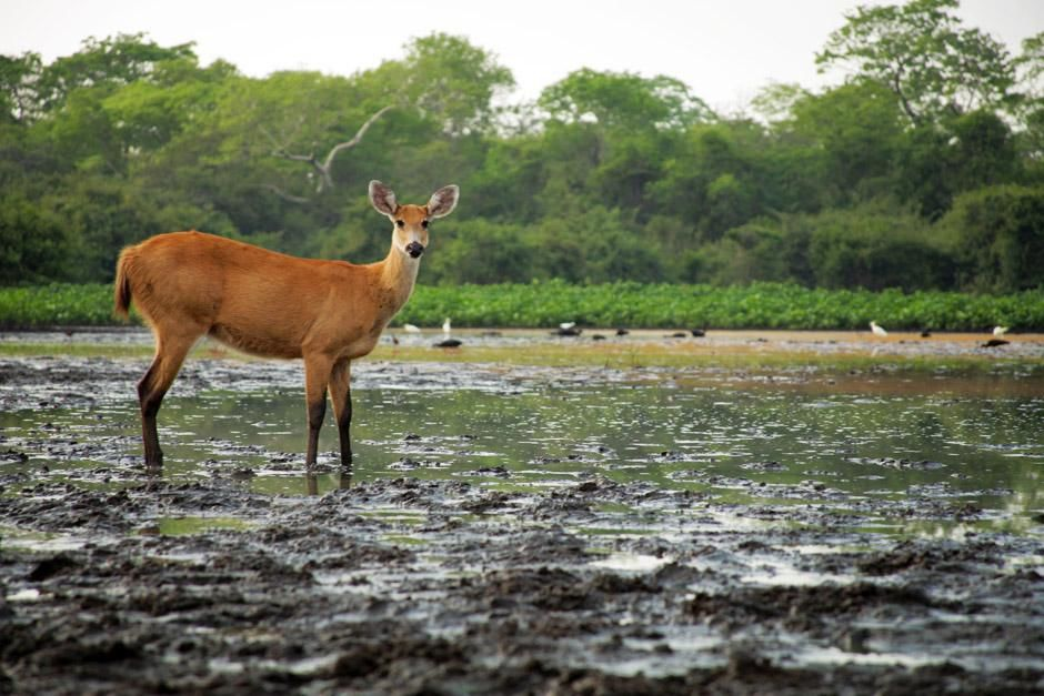 A marsh deer. This image is from Secret Brazil. [Photo of the day - ژانویه 2013]