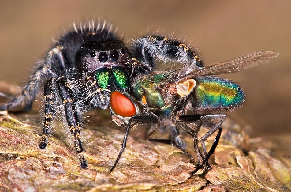 A Jumping spider has its fangs in a fly. The jumping spider has eight eyes and eight legs to work... [Photo of the day - January 2013]