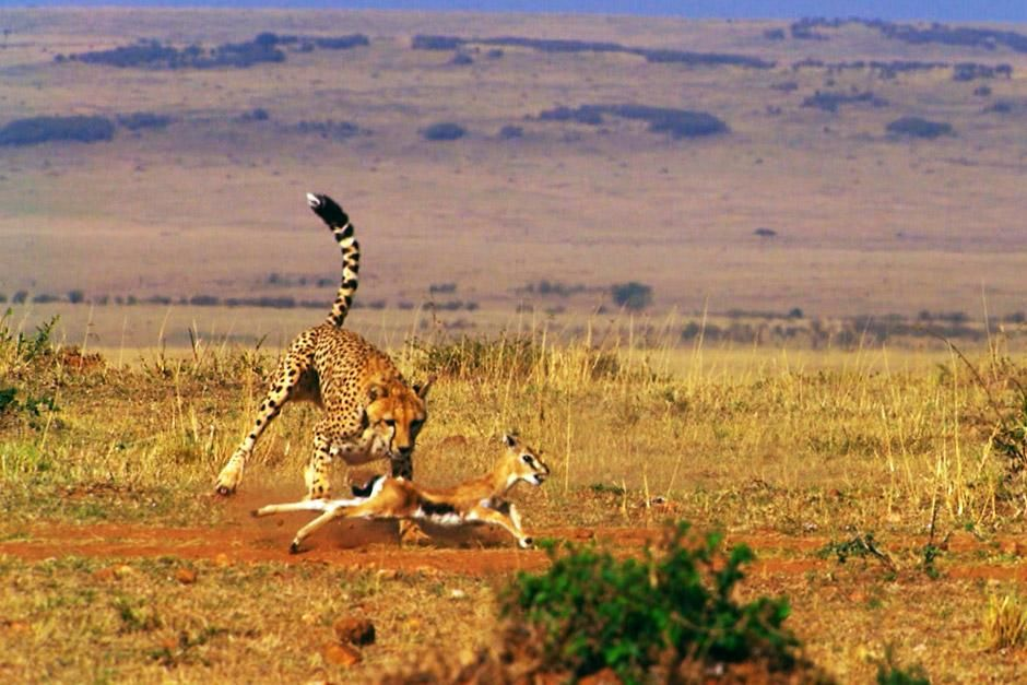 Grumeti River, Tanzania: Cheetahs are the fastest land mammals on Earth. This image is from... [Photo of the day - ژانویه 2013]