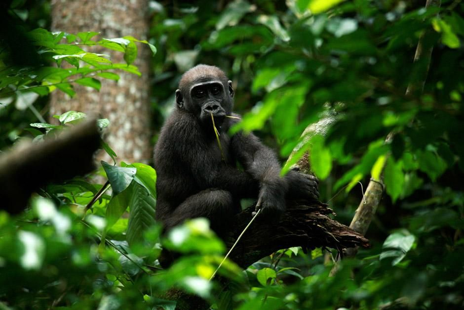 Central African Republic: A juveNile gorilla is seen here sitting in a tree chewing on some... [Photo of the day - ژانویه 2013]