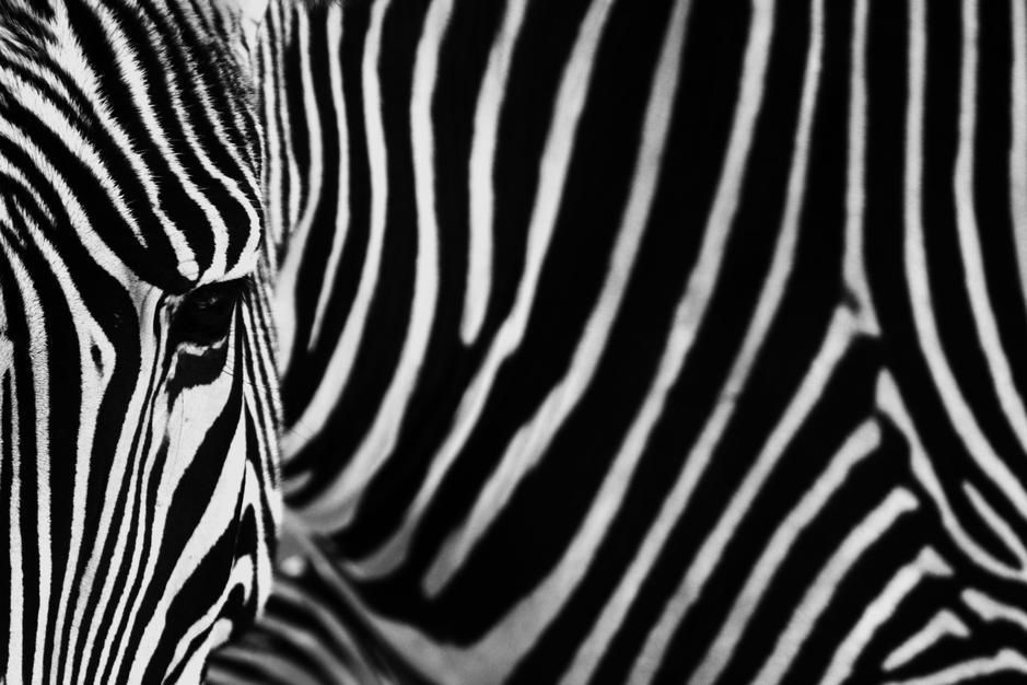 Zebra hautnah. [Photo of the day - Oktober 2011]