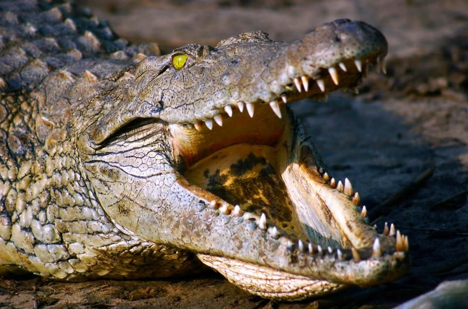 A Nile crocodile (crocodylus niloticus) displaying its teeth in South Africa. They have up to 68 ... [Photo of the day - January 2013]
