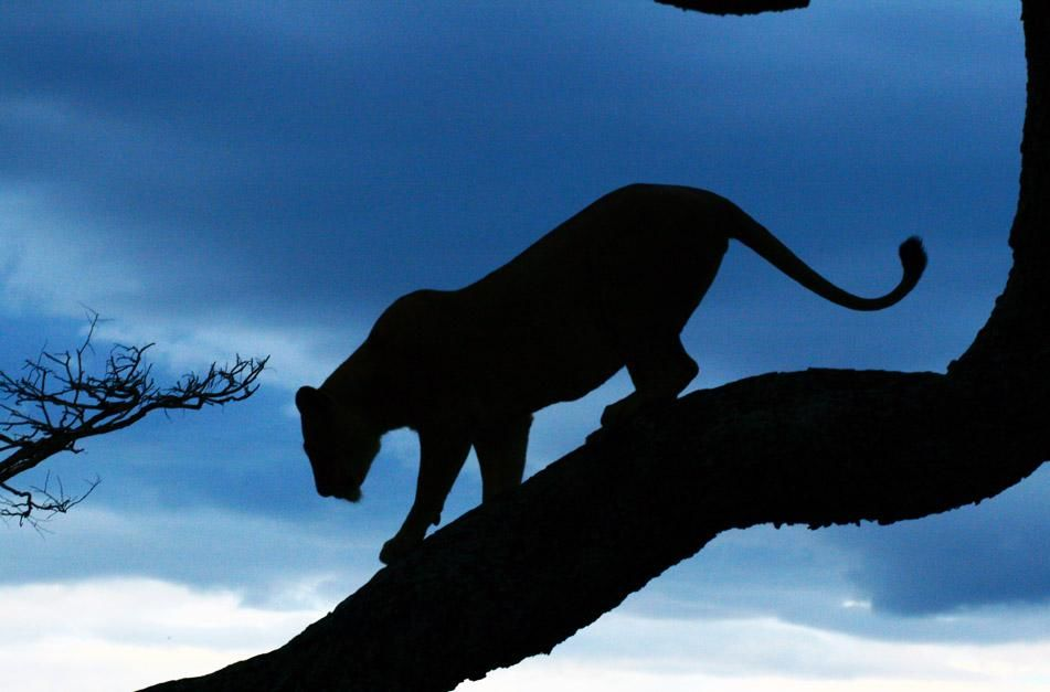 Lioness climbs down from tree as night sets in. This image is from Super Pride. [Photo of the day - January 2013]