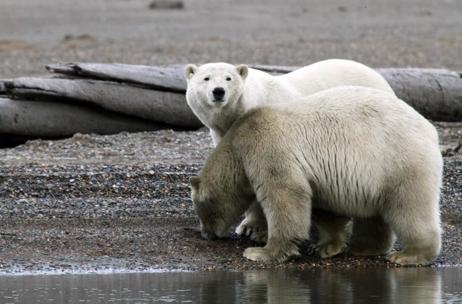 Kaktovik, AK, USA: Two polar bears stand next to each other on the beach. This image is from Wild... [Photo of the day - January 2013]