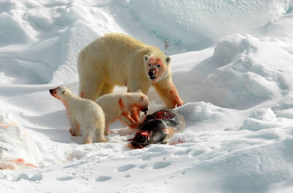 This Polar Bear and two cubs were feeding on a just caught bearded seal. The polar bears keen... [Photo of the day - ژانویه 2013]