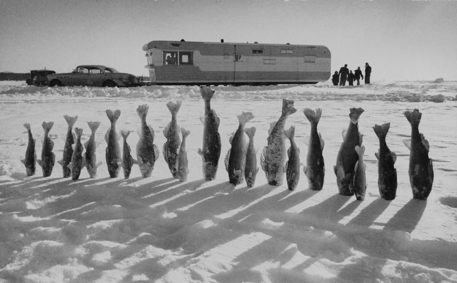 Twenty Walleye pike fish, frozen solid, kiss the snow, in Minnesota. USA. [Photo of the day - October, 2011]