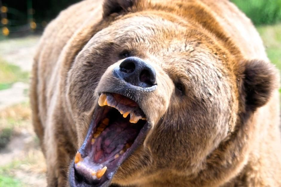 A brown grizzly bear roaring. They can smell a rotting carcass from nearly two miles away. This i... [Photo of the day - January 2013]