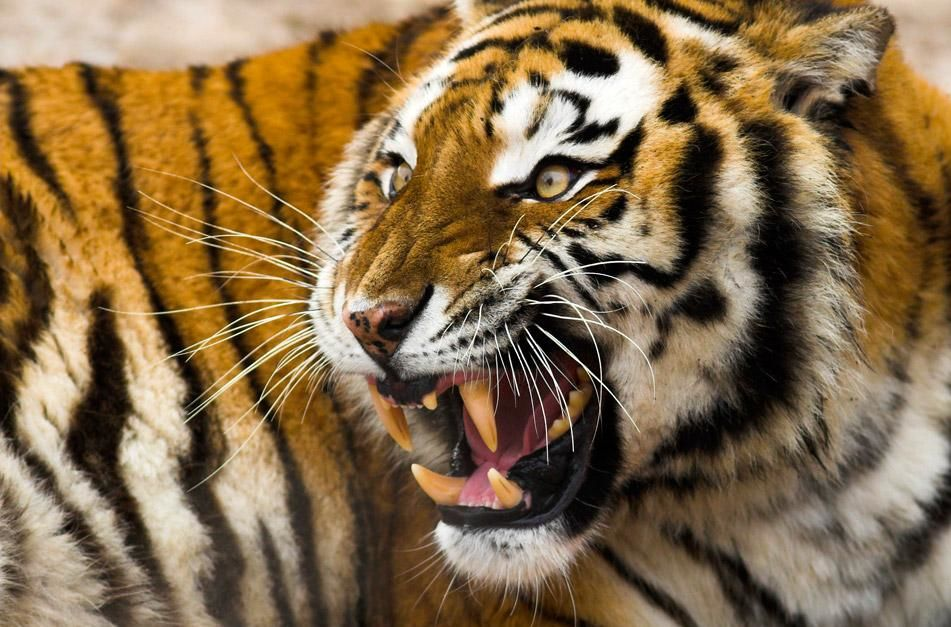 Tigers are the biggest and most powerful cats on Earth today. They have over 100 stripes that hel... [Photo of the day - January 2013]