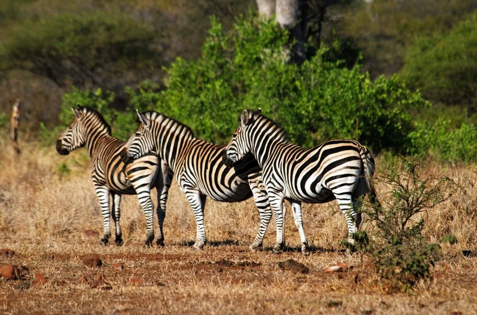 Zebras in Singita Kruger National Park which is situated where two rivers meet, in an exclusive... [Photo of the day - ژانویه 2013]