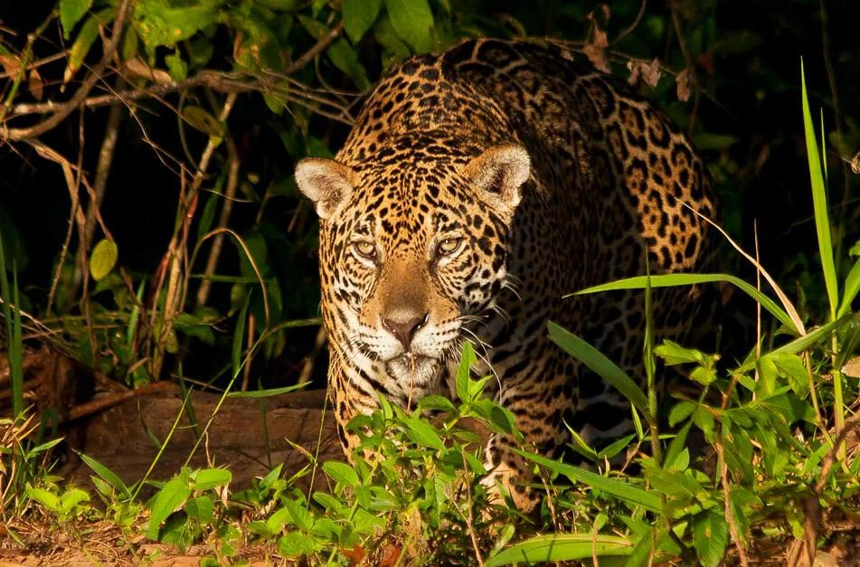 Jaguar stalks its prey. This image is from Secret Brazil. [Photo of the day - ژانویه 2013]