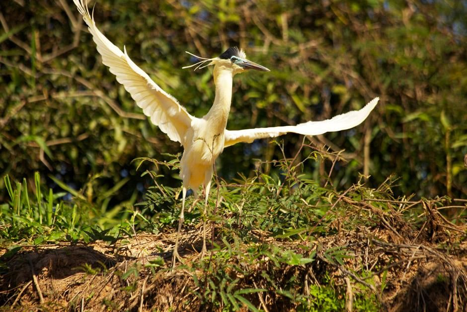 Capped heron with its wings open.This image is from Secret Brazil. [Photo of the day - ژانویه 2013]