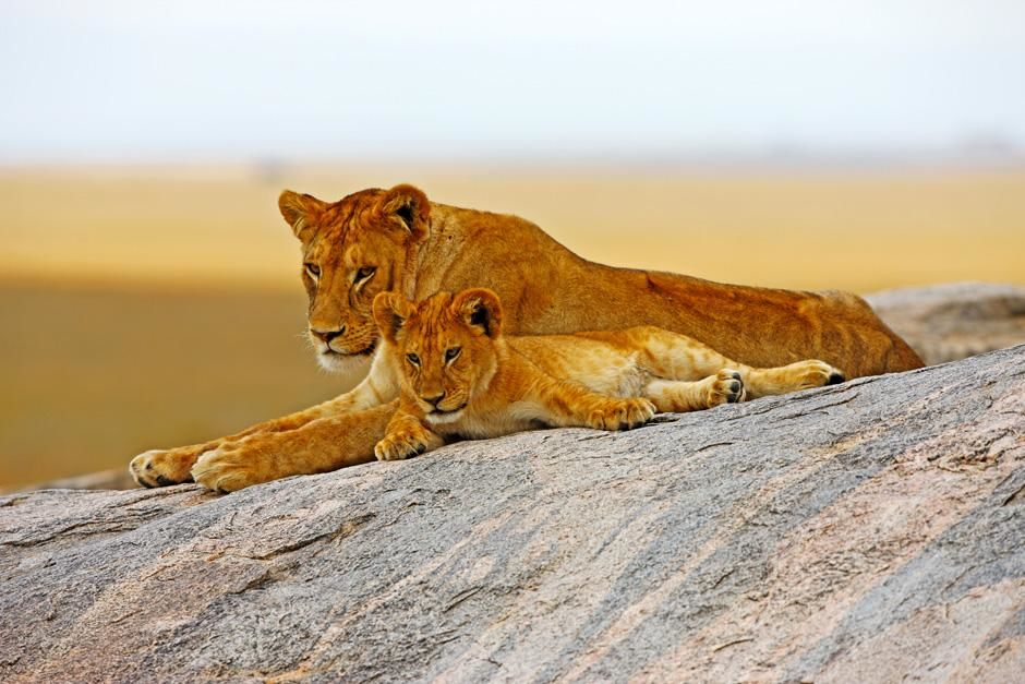 Serengeti/Massai Mara: Some lionesses live a solitary life instead of being under protection of a... [Photo of the day - February 2013]