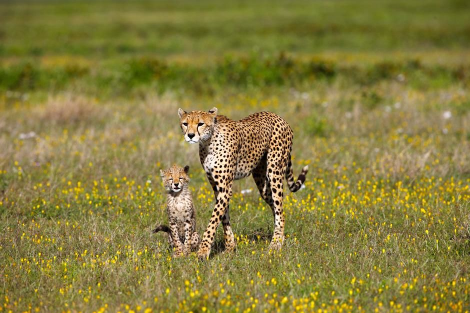 Serengeti/Massai Mara: The life of a young cheetah is dangerous - often other predators kill the... [Photo of the day - February 2013]