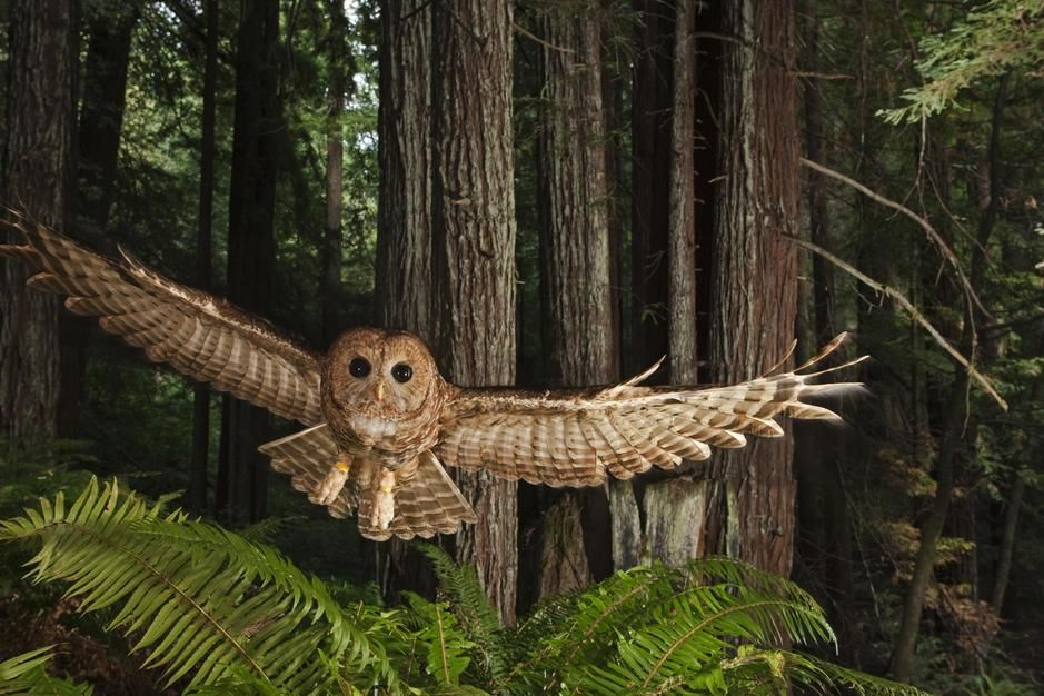 A tagged northern spotted owl in a redwood forest, California. USA. [Photo of the day - October, 2011]