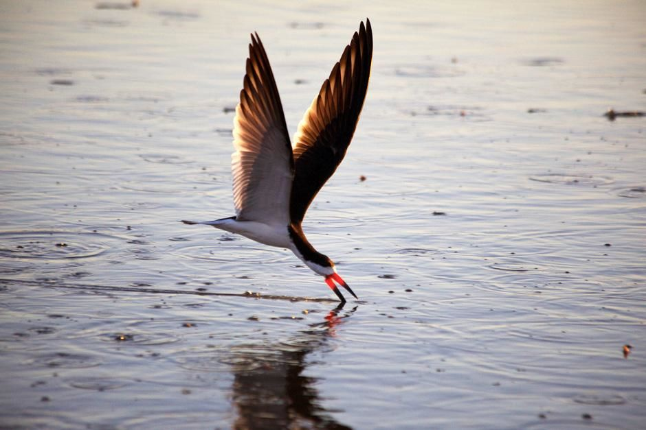 Black skimmer hunting on the water. This image is from Secret Brazil. [Photo of the day - February 2013]