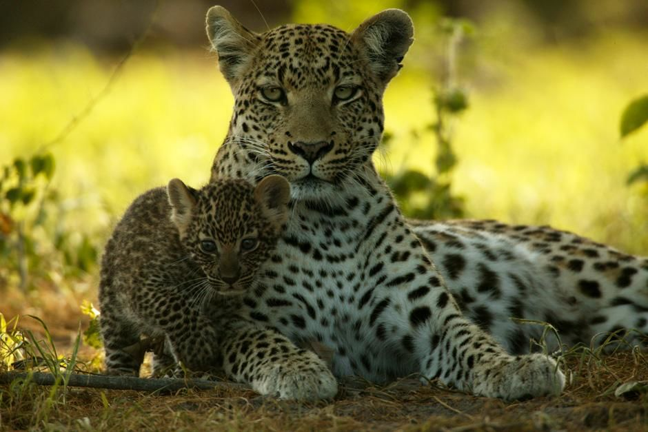 A mother leopard with her young. This image is from The Unlikely Leopard. [Photo of the day - February 2013]