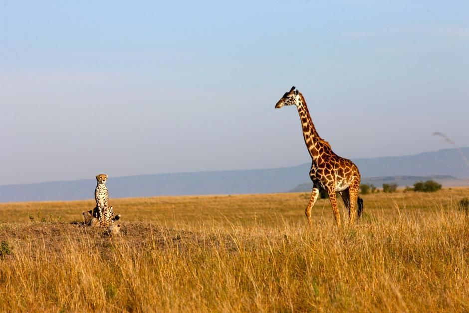 Serengeti/Massai Mara: Cheetahs don't have to fear giraffes but buffalos can be a real threat to ... [Photo of the day - February 2013]