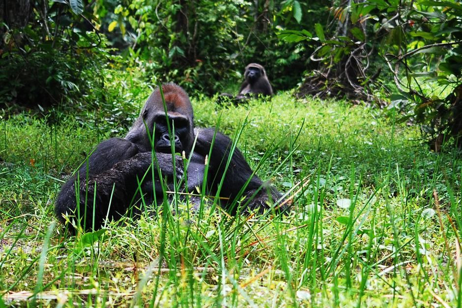 Republic of Congo: Kingo, a Western lowland gorilla silverback, eats while sitting in a swamp in... [Photo of the day - February 2013]