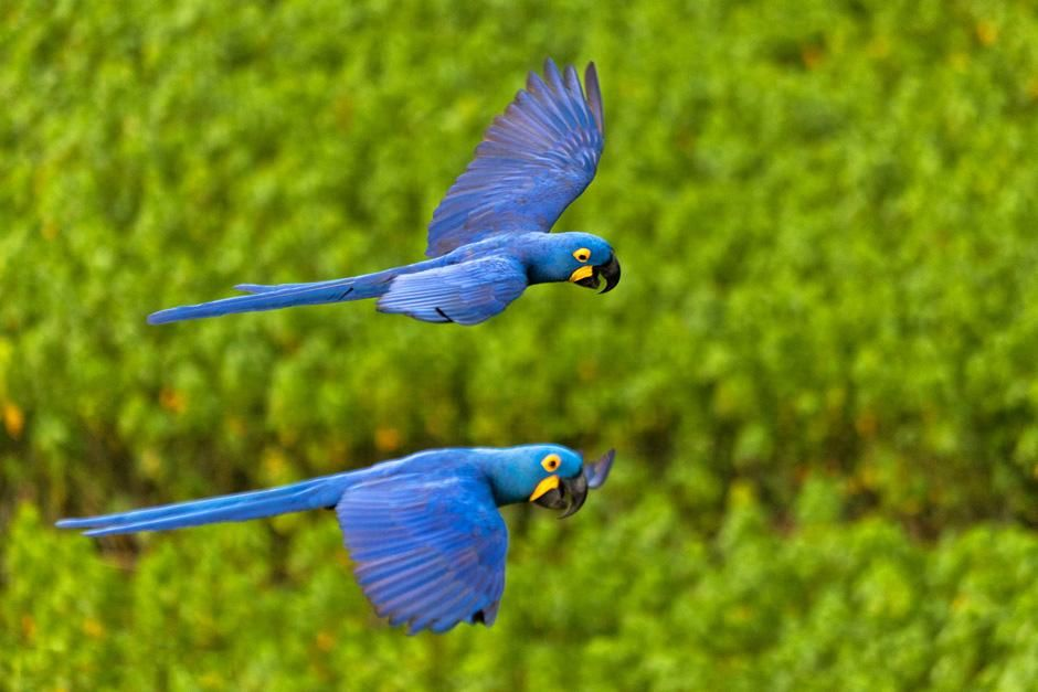 Two blue parrots flying. This image is from Secret Brazil. [Photo of the day - February 2013]