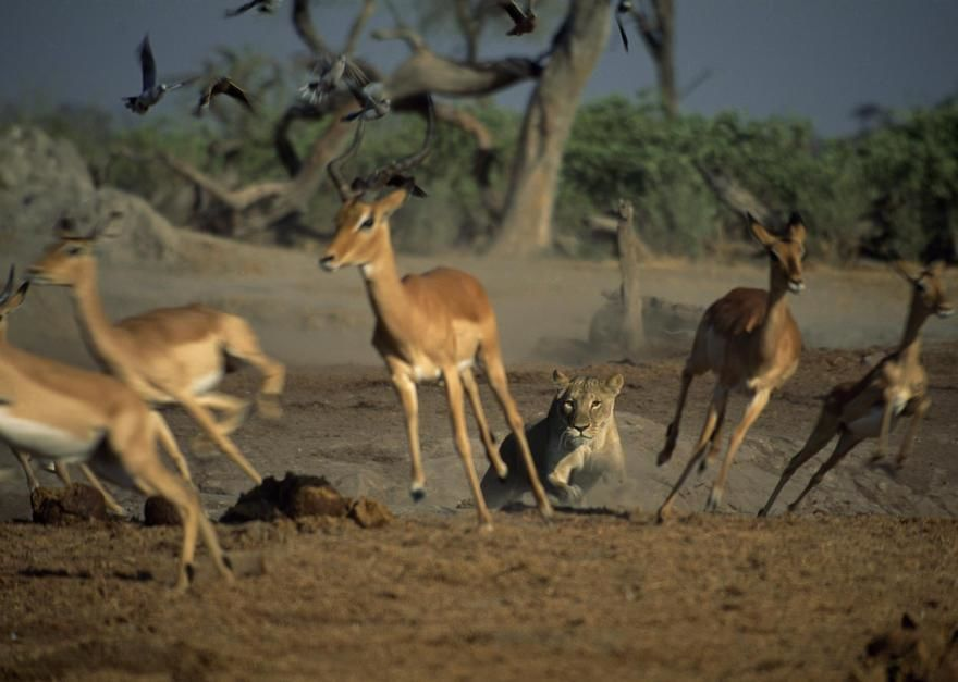 A lioness chases a group of gazelle in Botswana. [Fotografija dneva - julij 2011]