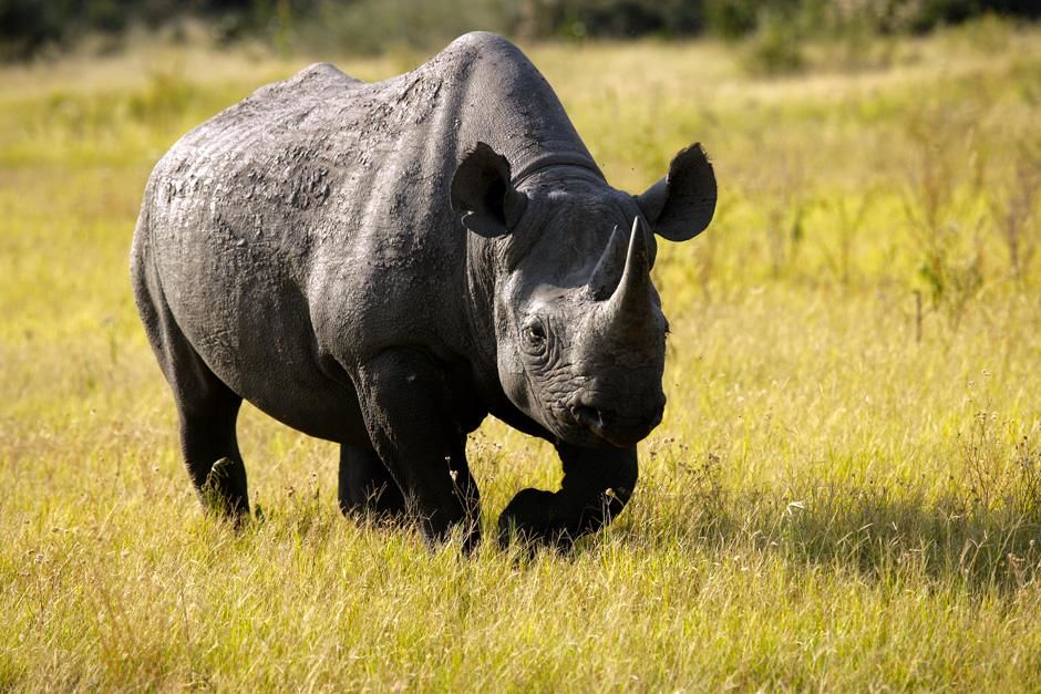 Black rhino released out of the boma and into the wild in the Okavango Delta in Botswana, South A... [Photo of the day - February 2013]