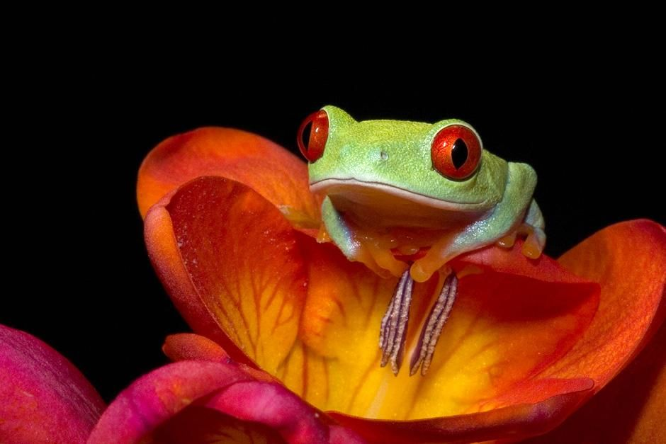 A red-eyed treefrog reclines on a freesia. This image is from World's Weirdest. [Photo of the day - February 2013]