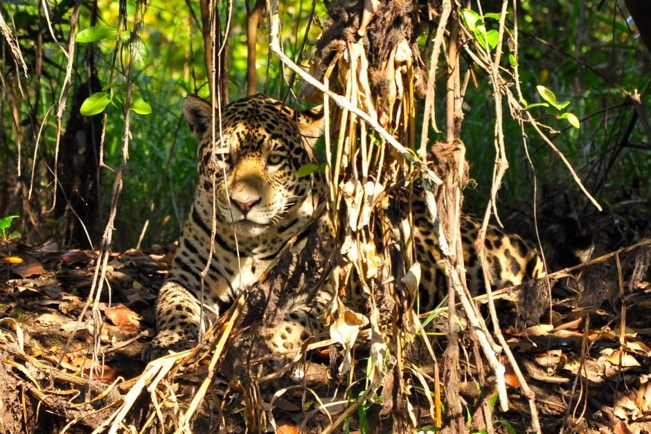 A jaguar lying down in the trees. This image is from Secret Brazil. [Photo of the day - February 2013]