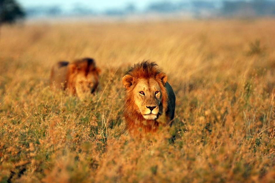 Two big male lions walk in the tall grass. This image is from Super Pride. [Photo of the day - February 2013]