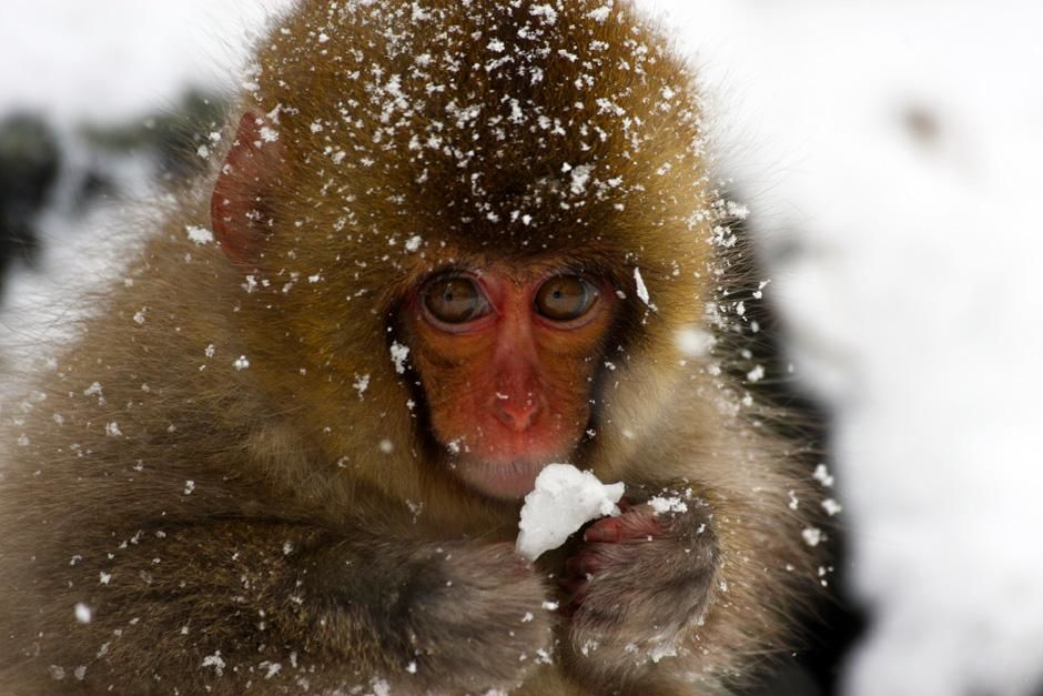 In Jigokudani park, located in the Shimotakai District, the most northern living primates aside... [Photo of the day - March 2013]