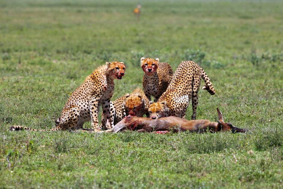 Serengeti/Massai Mara - The cheetah siblings have survived and their young mother did a good job.... [Photo of the day - March 2013]