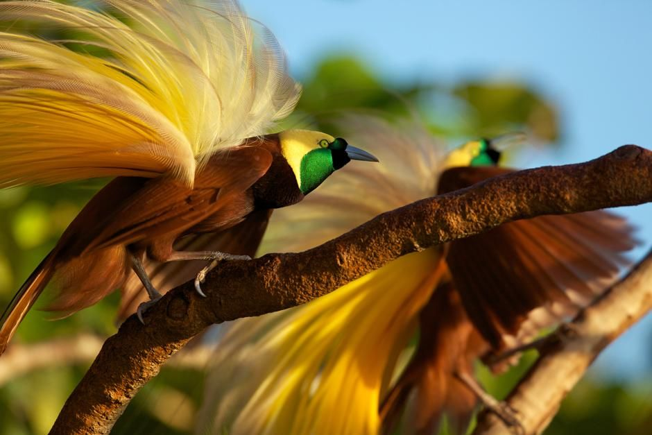 Badigaki Forest, Wokam Island in the Aru Islands, Indonesia: Greater Bird of Paradise... [Photo of the day - March 2013]